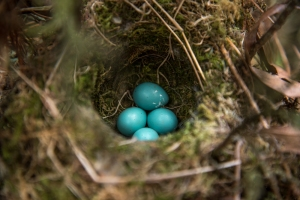 turquoise blue dunnock eggs at maggies barn in the Brecon Beacons